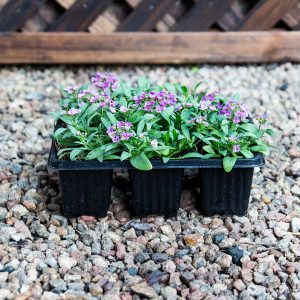 Alyssum deep rose 4/6 cavity trays