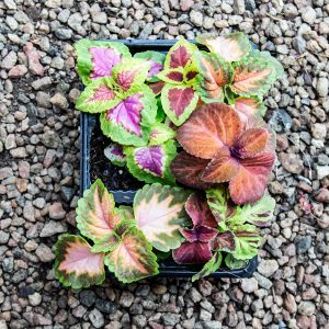 Coleus 4/6 cavity trays