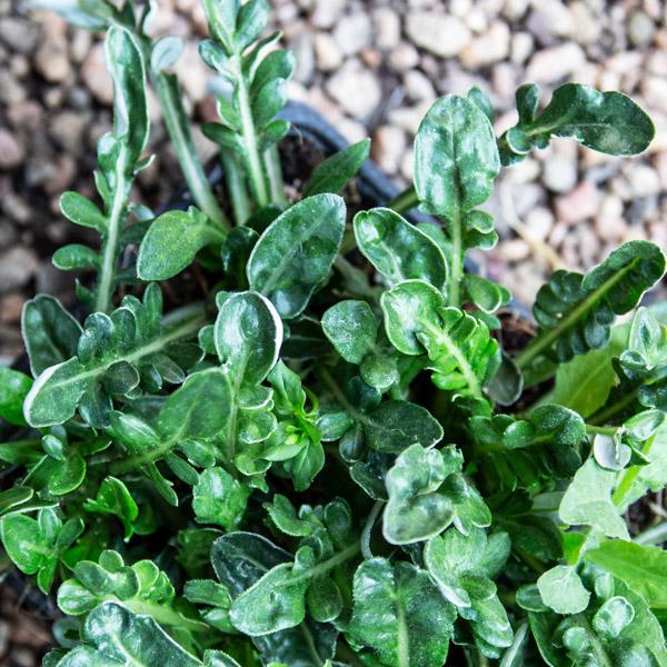 Gazania Green Leaf 2