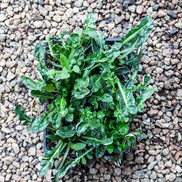 Gazania Green Leaf 3