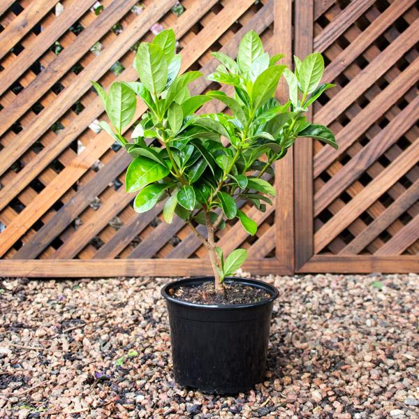 70004405 - Viburnum - Viburnum sinensis