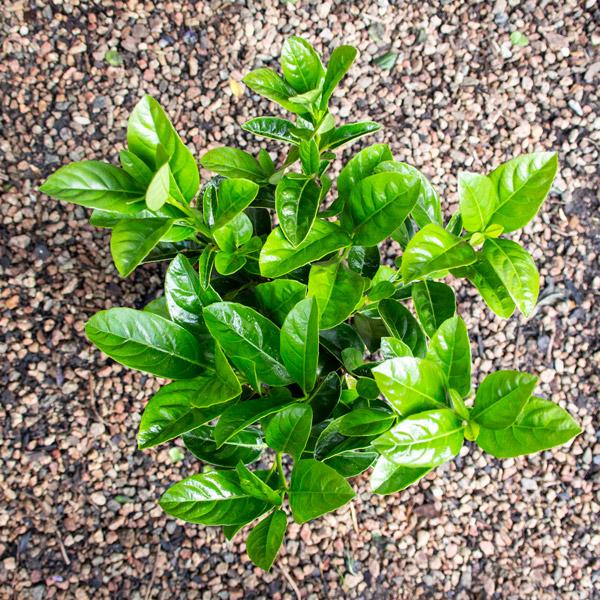 Viburnum - Viburnum sinensis 3