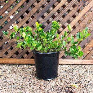 Gardenia – Augusta 'Professor pucci' 17cm pot