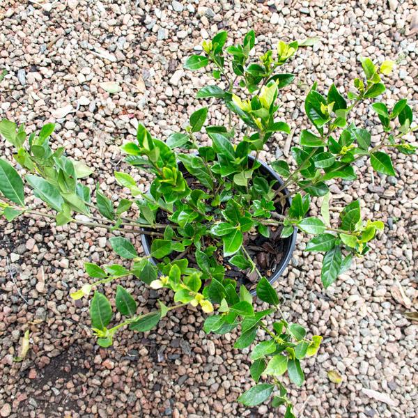 Gardenia - Augusta 'Professor pucci' 2