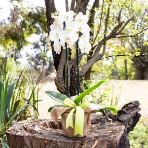 Gift Phalaenopsis