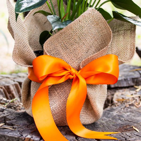 70039578 - Gift Anthurium (3)