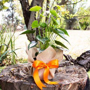 Gift Anthurium