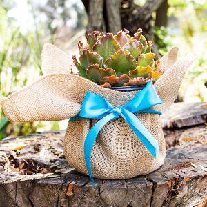 Gift Succulent Mini
