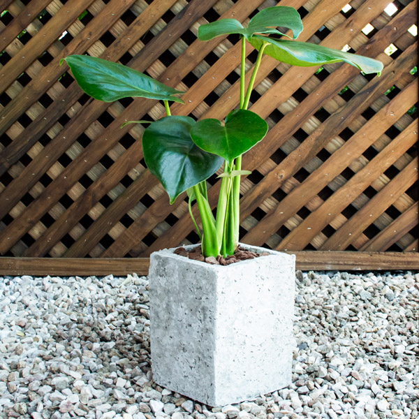 70060725 - Gift Monstera square tall (4)