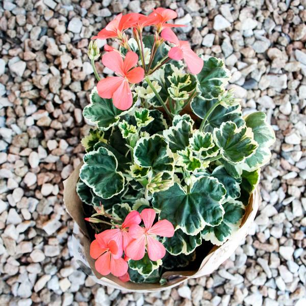 70060727 - Gift Pelargonium Wrap (3)