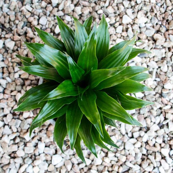 70060729 - Gift Draceana Ceramic (4)
