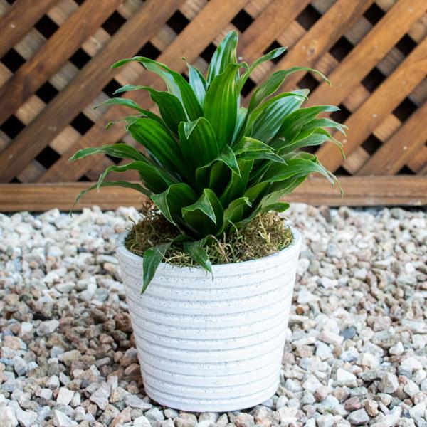 70060729 - Gift Draceana Ceramic