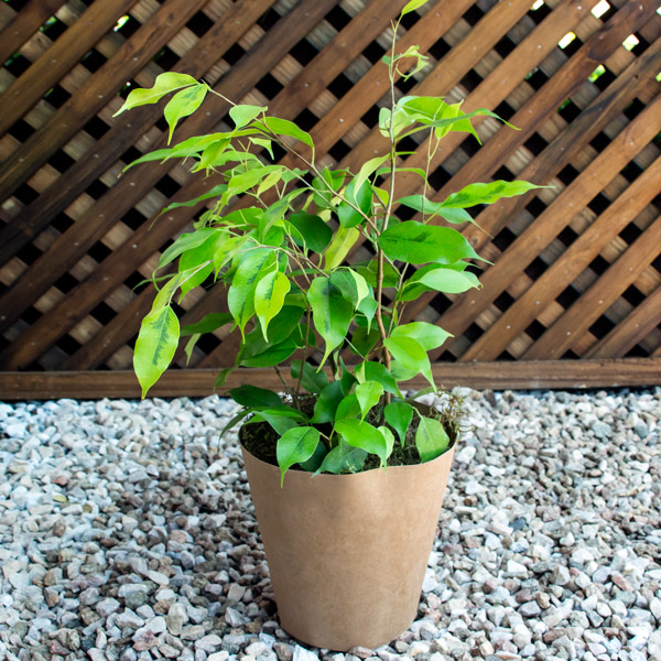 70060732 - Gift ficus Pot cover