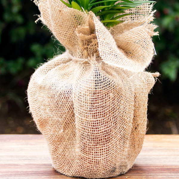 70060761 - Gift Asiatic Lily in Hessian (2)