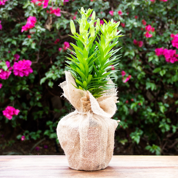 70060761 - Gift Asiatic Lily in Hessian