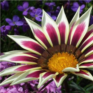 Gazania new day assorted 15cm