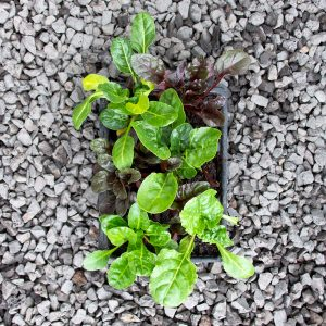 Spinach- Bright lights swiss chard 4/6 cavity trays
