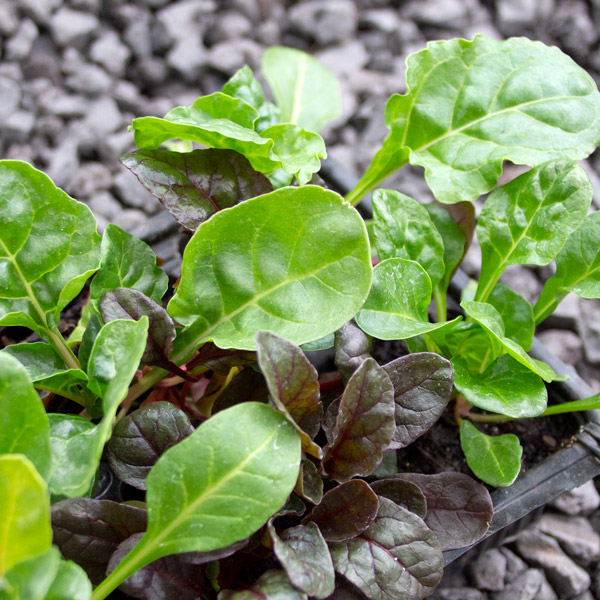 Spinach- Bright lights swiss chard 4/6 cavity trays