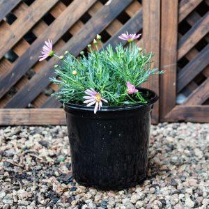 Giant Pink Bush Daisy –  Argyranthemum frutecens 'Giant Pink' 17cm pot