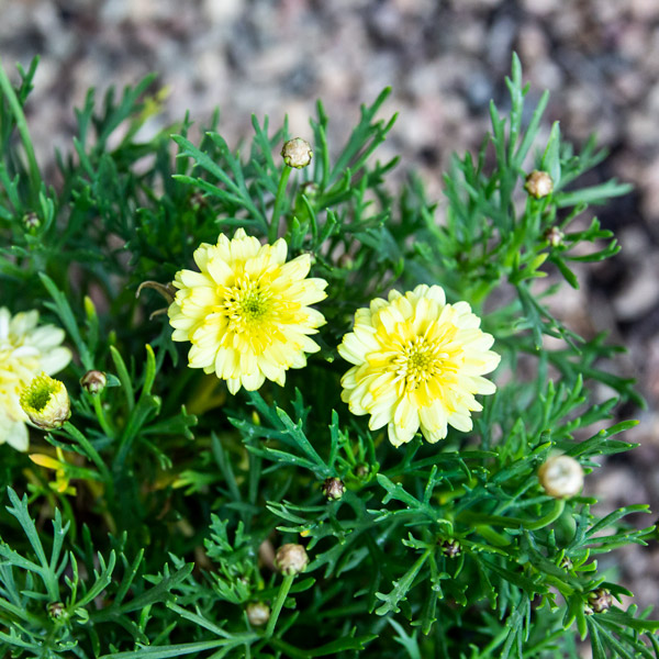 6009526700733 - Maize Bush Daisy Argyranthemum frutecens 'Maize' 17cm pot
