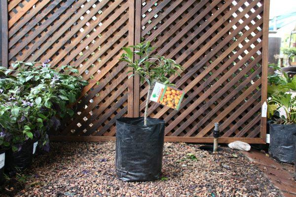 70000034 - Citrus Kumquat 10L