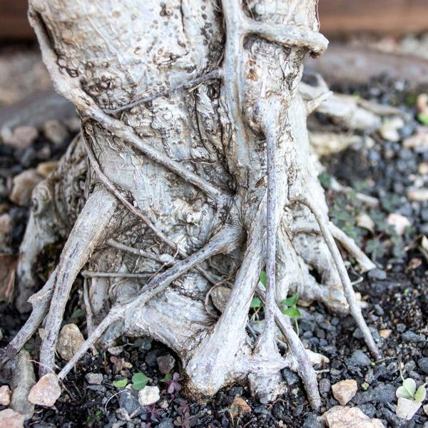 70005701 - Bonsai - Ficus (3)