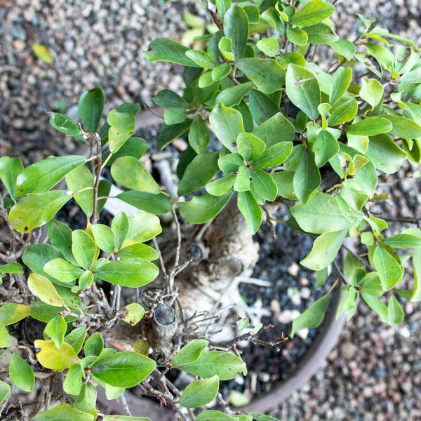 70005701 - Bonsai - Ficus (4)