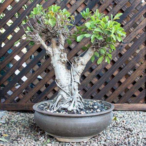 70005701 - Bonsai - Ficus