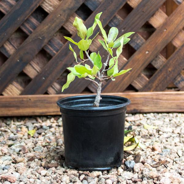 70010082 - Bonsai 12cm Pot