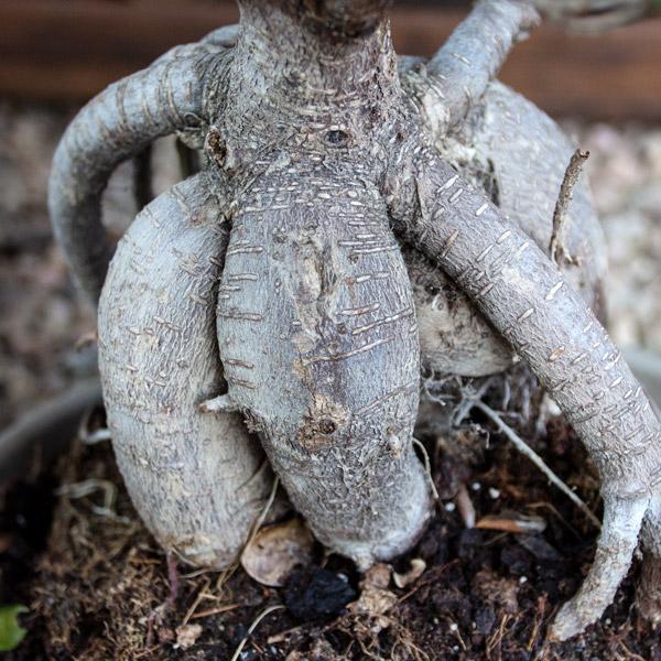 70014238 - Bonsai - Ficus Ginseng (2)