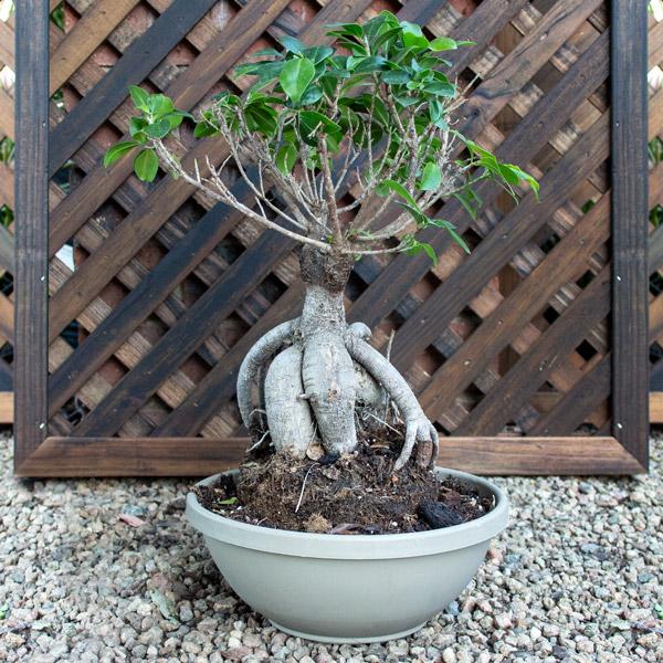 70014238 - Bonsai - Ficus Ginseng