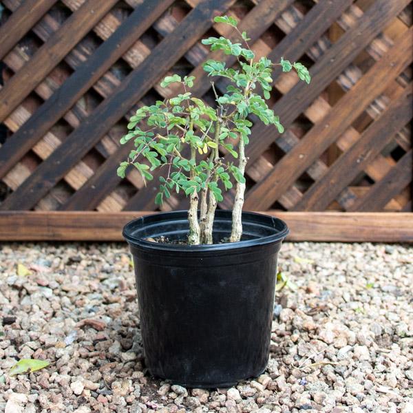 70018903 - Bonsai In Plastic Pot