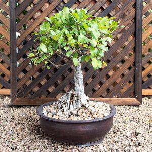 Bonsai – Foilage Plant