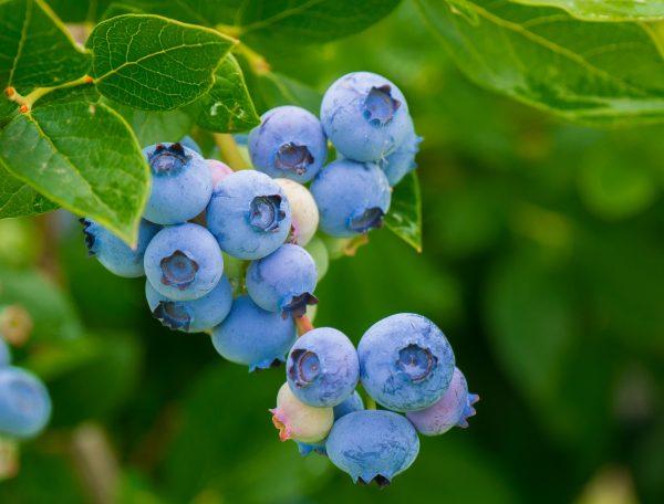 70054927- Blue Berry 20cm