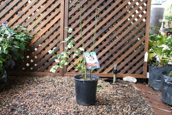 70054927 - Blueberry - Blueberry Legacy 20cm