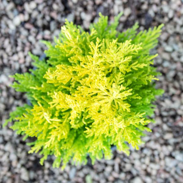 04201335 - Cupressus Gold Crest - Conifer (3)