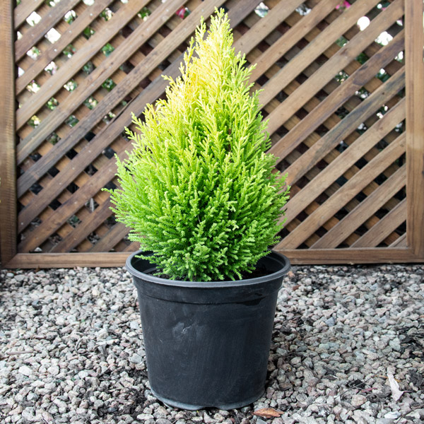 04201335 - Cupressus Gold Crest - Conifer