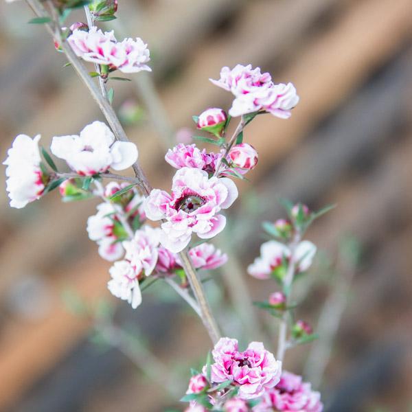 10000653 - Leptospermum - Dwarf Tea Bush (3)