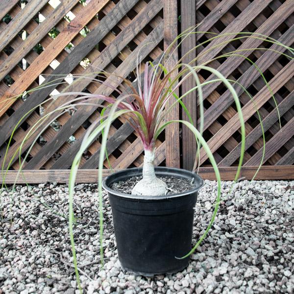 10003213 - Beaucarnea Recurvata - Ponytail Palm 15cm