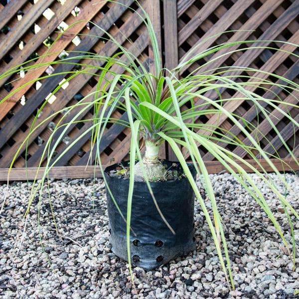 10003529 - Beaucarnea Recurvata - Ponytail Palm 4L