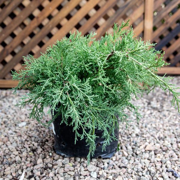 10011244 - Juniperus - Gold Coast Juniper