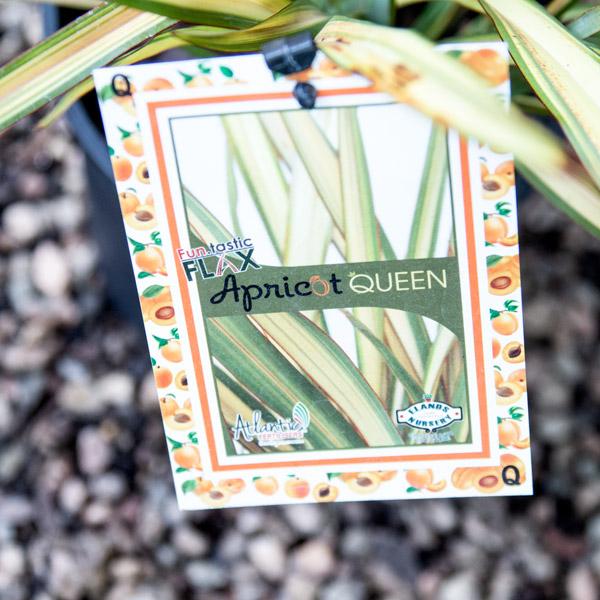 13123482 - Phormium Apricot Queen - New Zealand Flax 4L (2)