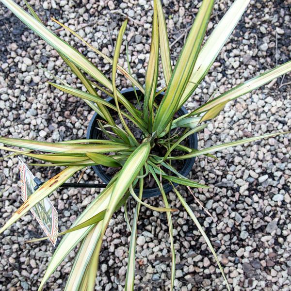13123482 - Phormium Apricot Queen - New Zealand Flax 4L (3)