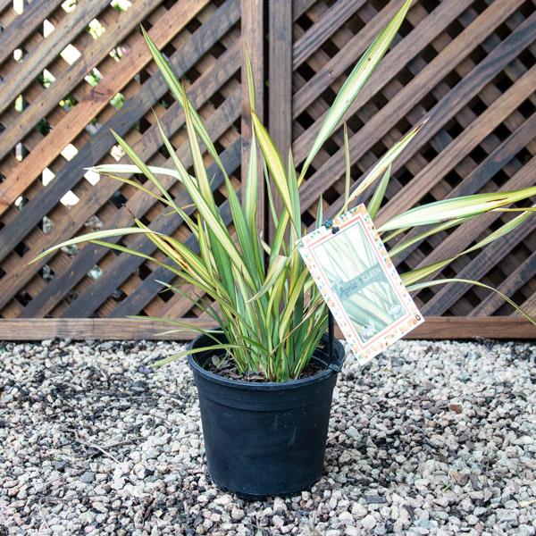 13123482 - Phormium Apricot Queen - New Zealand Flax 4L