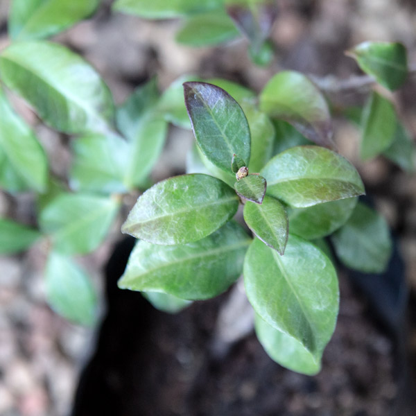 15405145 - Trachelospermum Jasminoides - Star jasmine 2L (2)