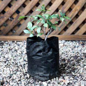 Trachelospermum Jasminoides – Star jasmine 2L