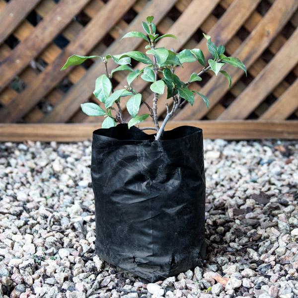 15405145 - Trachelospermum Jasminoides - Star jasmine 2L