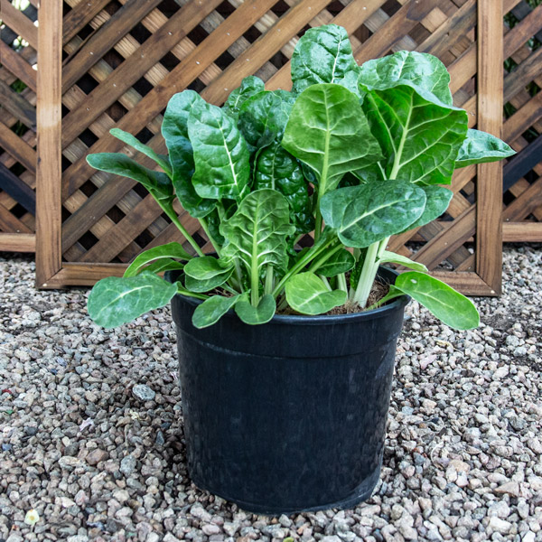 18090000 - Herb Pot - Swiss Chard