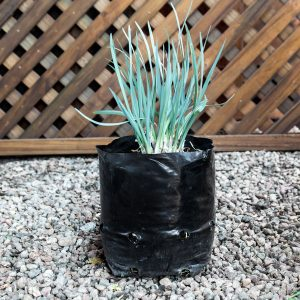 Tulbaghai Violacea – Wild Garlic 4L