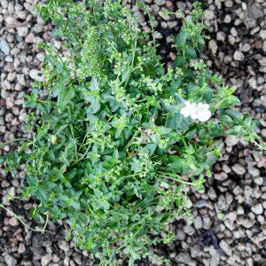 Diascia Variety 14cm